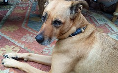 The inimitable Rose Alice Lane, chillin' on the front porch, carpet made from recycled plastic, Broadview, Seattle, Washington, USA (Wonderlane) Tags: 20161008133609 servicedog serviceanimal theinimitablerosealicelane chillinonthefrontporch carpetmadefromrecycledplastic broadview seattle washington usa rosie the inimitable rose alice lane
