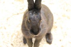image (Rubia.A) Tags: rabbit rabbitisland japan hiroshima okunoisland 広島 うさぎ 兎 大久野島