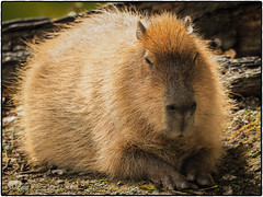 (daverigleyphotos) Tags: capybara