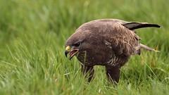 Bertie Needs Your Help... (Cosper Wosper) Tags: stop petition buzzard shooting sign help bertie