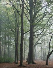 A forest of my favorite tree (Stefanie Claeys) Tags: beech tree wise favorite beauty love wildert essen belgium noedit