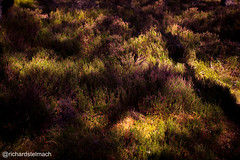 Dappled light on heather (richardstelmach) Tags: aviemore heather highlands landscape light locheilein nature scotland splittone sunbeams sunlight thehighlands tiltshift