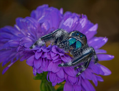 Somewhere Only We Know (Kathy Macpherson Baca) Tags: explore animal animals spiders bug bugs macro nature wildlife flower aster blue black predator arachnid jump planet world earth verycool phid regal