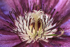 Clematis (CDfolia) Tags: july 2016 scotland summer gardens flowers clematis