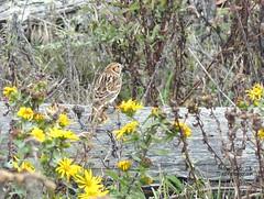 Lapland Longspur - Tsawwassen, BC (Michael Klotz - The Bird Blogger.com) Tags: laplandlongspur tsawwassen ferry jetty yellow log green brown