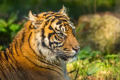 Sumatran Tiger (keje2483) Tags: sumatrantiger southlakesanimalpark