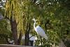 1DS30618 View Large. Back Yard Visitor. (E.W. Smit Wildlife) Tags: 1dsmarkiii canon1dsmarkiii canoneos1dsmarkiii canonef70300mmf456lisusm ef70300mmf456lisusm canonef70300mmf456lis egret greategret menifee menifeecalifornia socal southerncalifornia unitedstatesofamerica usa backyard wildlife wildanimals outdoor outdoors bird birds animal avian animals inlandempire riversidecounty canon nature