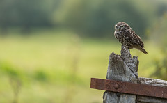 Little owl (Athene noctua) (Steven Whitehead) Tags: littleowl little owl owls birds birdofprey bird gate nature 2016 feeding feathers canon canon5dmk3 fields countryside