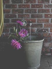 Running water (Sylvia Houben) Tags: inthegarden running water flowers dahlias runningwater