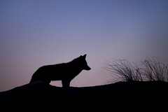 Fox Silhouette (kmeda) Tags: animal blue islandbeachstatepark mammals silhouette black cold dusk fox fur orange purple redfox white wildlife winter berkeleytownship newjersey unitedstates us