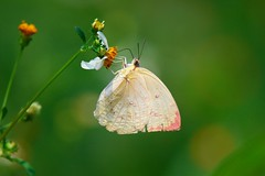 Catopsilia pomona (mikleyu) Tags: butterfly animal insect nature