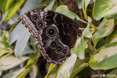 Morpho peleides (Manolo G.A.) Tags: morpho peleides canon 50d 18200mm mariposario njar almera mariposa butterfly