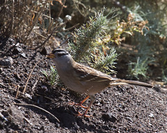 White-crowned Sparrow (Tom Clifton) Tags: pointlobos termitehatch birding