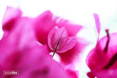 4 (tannguyendp) Tags: purple september fall garden nature pink ourdoor retouch tannguyen gio macro depth latesummer vietnam amazing sky green windy rose