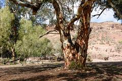TAN ME BARK (scatrd) Tags: travels afsnikkor24120mmf4gedvr landscape mynikonlife australia 2016 holiday landscapephotography country travelphotography jasonbruth subject nikond810 southaustralia d810 nikon 2016flindersfrolic wertaloona au