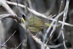 Common Yellowthroat (Jeremy Meyer) Tags: bird milwaukee common lakepark warbler yellowthroat commonyellowthroat