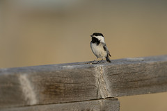 Singing Chickadee-40117.jpg (Mully410 * Images) Tags: bird birds birding chickadee birdwatching blackcappedchickadee birder songbird tcaap ahats burdr tcaapwva