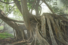 Banyan growing in hot spring (Roger L. Sizemore) Tags: rice monsoon hotspring fang chiangdao doiluang