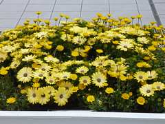 Lovely yellow flowers (seikinsou) Tags: flower station yellow japan spring terrace jr pot osaka osakacity