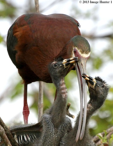 White-faced Ibis And Chicks - Miller