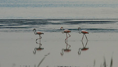 Flamingos (sharmaneeraj) Tags: red india water birds three flamingos line marsh chennai waders pallikaranai