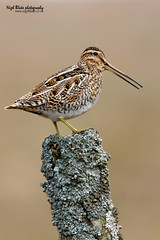 Common Snipe, Gallinago gallinago (Nigel Blake, 2 million views Thankyou!) Tags: bird birds canon photography blake common nigel drystone shorebird wader snipe commonsnipe birdphotography gallinago gallinagogallinago 600mm eos1dsmkiii 600mmf4is
