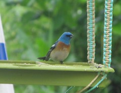 Blue Bunting, aka Lazuli Bunting (tlhowes2012) Tags: backyardbirds