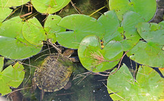 turtle and lily pads (joybidge (back from vacation)) Tags: turtle turtles sandiegozoo naturepatternscanada trishcanada tsmay152013