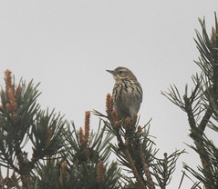 Tree pipit - (Anthus trivialis) (Joe__M) Tags: uk summer england bird canon wildlife sigma devon british dartmoor rare migrant anthustrivialis treepipit eos7d 12400mmf4556