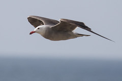 Heerman's Gull (J.B. Churchill) Tags: birds ca california gullsterns heeg heermansgull lajolla places sandiego taxonomy unitedstates us