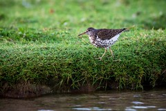 Spotted Sandpiper (imageClear) Tags: lake bird nature water grass wisconsin aperture nikon flickr lakemichigan sandpiper sheboygan photostream northpoint 80400mm d600 spottedsandpiper imageclear
