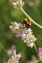 Bee (photoschete.blogspot.com) Tags: naturaleza verde green planta canon bug eos sigma natura bee abeja bicho lavanda polinate 70d polinizar polinización cantueso