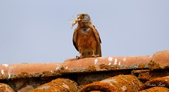 Lesser Kestrel  -  Falco Grillaio (Falco Naumanni) Male. (Michele Fadda (Shots in Time)) Tags: canoneos70d sigma150600mmf563dgoshsm|contemporary015 sigma150600c sardinia sardegna italy lesserkestrel falcogrillaio grillaio falconaumanni male bird uccello volatile falco rapace avifauna faunaprotetta inliberta free michelef photoscape prey