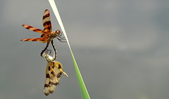 holding you tight (aokcreation) Tags: halloweenpennant dragonfly