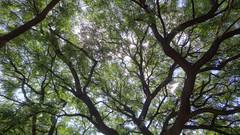 Jacaranda Branches, Pretoria, South Africa (HDR) (dannymfoster) Tags: africa southafrica pretoria tree jacaranda jacarandatree