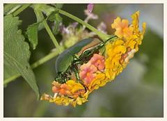 Green Fig Beetle (gauchocat) Tags: arizonasonoradesertmuseum tucsonarizona
