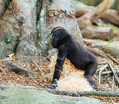 Baby gorilla (VirtualWolf) Tags: animal australia bokeh canonef135mmf2lusm canoneos7d equipment gorilla mosman newsouthwales places primate sydney tarongazoo techniques wildlife