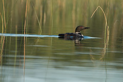 Common Loon in the weeds (NicoleW0000) Tags: common loon calm water reflection morning nature