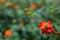 DSC02136 (Zengame) Tags: hamarikyu hamarikyugardens rx rx1 rx1r rx1rm2 rx1rmark2 sony zeiss cc cosmos creativecommons flower japan tokyo           jp