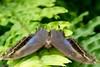 K46A8040 (Yvonne23021984) Tags: schmetterling butterfly hamm germany deutschland maxipark markro photography macrophotography canon canonphotography markofotografy canoneos7dmarkii insects insekten nature naturfotografie naturephotography closeup colorkey schmetterlinge butterflies