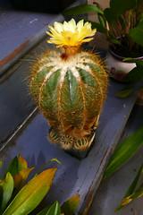 Notocactus magnificus (nolehace) Tags: notocactus magnificus 716 cactus succulent summer nolehace sanfrancisco fz1000 flower bloom plant yellow