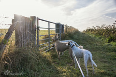 They Saw the Light (Shastajak) Tags: fence dogs lurchers gate light morninglight stanley deerhoundcross flori lurcher saluki whippet bullterrier crossbreed sql pronouncedsequel greyhound sighthound gazehound dog rehomed rescued