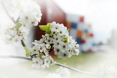 Spring Blossom (Ptolemy the Cat) Tags: blossom spring springtime prunus plum tree bokeh blur vignette nikond600 nikonf282470mmlens