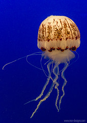 """Jellyfish • <a style=""""font-size:0.8em;"""" href=""""http://www.flickr.com/photos/139356786@N05/28867173786/"""" target=""""_blank"""">View on Flickr</a>"""