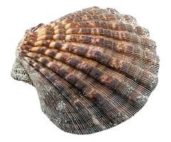 Seashell (photoshopsyr) Tags: shell seashell nature ocean sea water shore beach isolated onwhite overwhite backgroundfree
