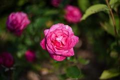 Rose (Lassehn41) Tags: flower helios 44m swirly bokeh rose 1dsmrkii canon nature