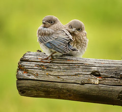 Fledglings Duo (Jeff Clow) Tags: 2016 grandtetonnationalpark jacksonhole june mothernature wyoming animals nature outdoors outside wild wildlife birds mountainbluebirds fledglings expressions