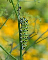 AFC_4968_8x10 (thorntm) Tags: macro caterpillar blackswallowtailcatepillar easternblackswallowtail mdtpix nikond800 autofocus gününeniyisi thebestofday