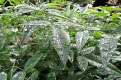 Rainy  (mensore) Tags: green leaf rain rainy
