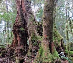 Antarctic Beech Tree (flashmick) Tags: antarctic beech queensland bushwalk ballow barney mtbarney winter august daywalk foliage vegetation trees